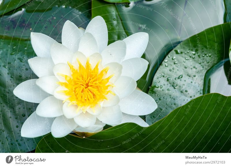 flower of water lily white hatched Exotic Tourism Ocean Island Waves Culture Nature Flower Blossom Park Forest Volcano Sailboat Bird Hot Wet Wild Green
