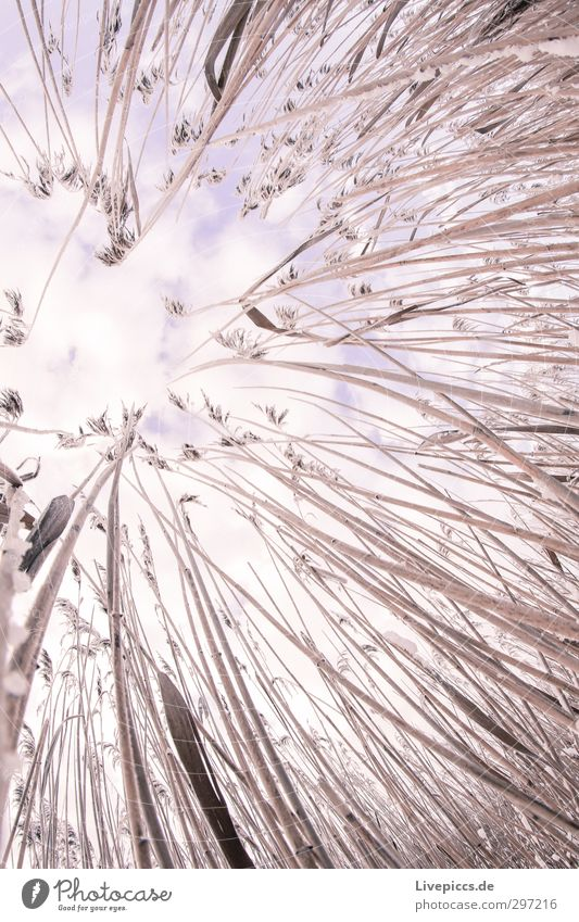 there reed Environment Nature Plant Sky Clouds Winter Snow Bushes Wild plant Field Violet Pink Colour photo Exterior shot Day Fisheye Upward