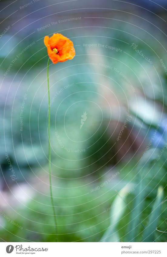 Weightless Environment Nature Plant Flower Blossom Natural Green Red Poppy Poppy blossom Colour photo Exterior shot Macro (Extreme close-up) Day