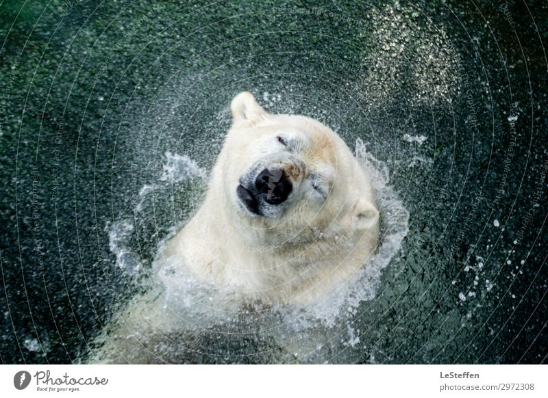 head shaking polar bear / head shaking polar bear Nature Animal Water Drops of water Hannover Downtown Zoo Wild animal Animal face Pelt Polar Bear 1 Breathe