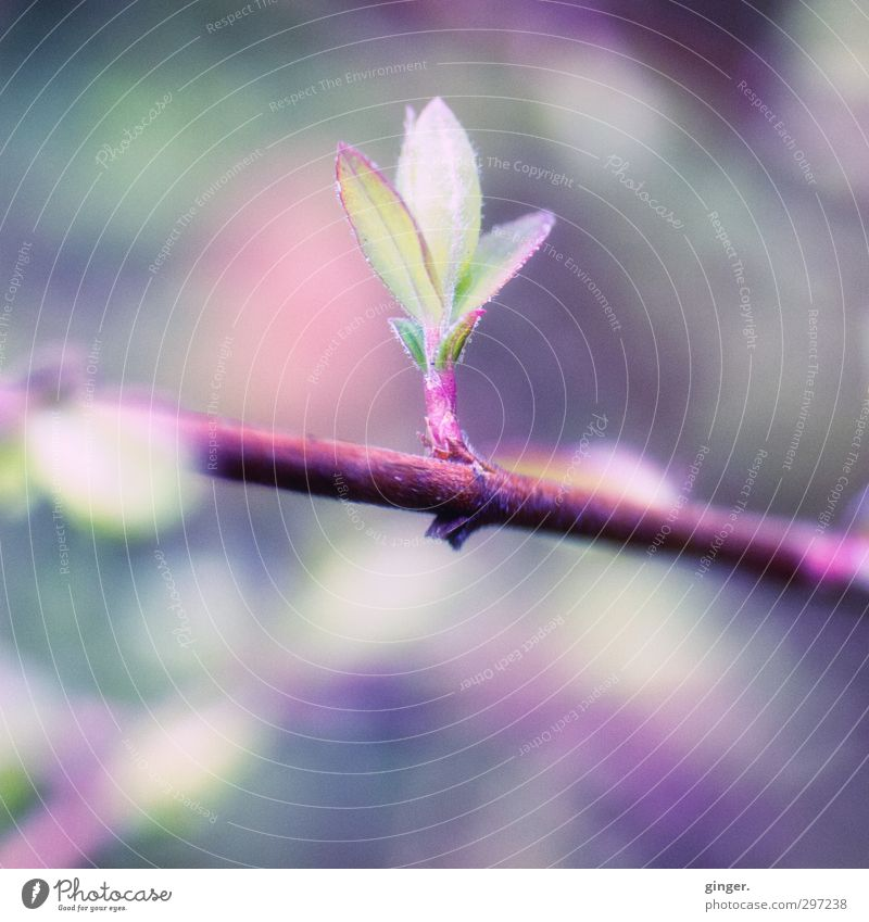 The purple deeper meaning of spring in April Environment Nature Plant Spring Bushes Leaf Garden Surprise Bud Leaf green Leaf bud Narrow Fine Delicate
