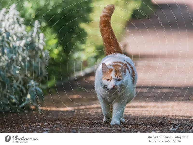 Walking cat in the park Nature Plant Animal Sunlight Beautiful weather Bushes Park Pet Cat Animal face Pelt Paw Domestic cat Head Eyes Tails 1 Going Looking Fat