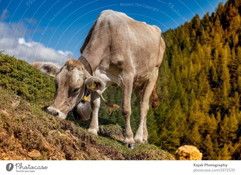 Happy cow in Valais - Switzerland Meat Cheese Yoghurt Milk Vacation & Travel Tourism Mountain Environment Landscape Plant Animal Summer Farm animal Cow Pelt 1