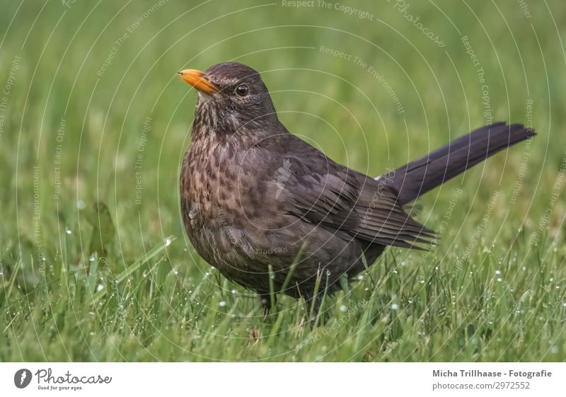 Blackbird on the meadow Nature Animal Drops of water Sunlight Beautiful weather Grass Meadow Wild animal Bird Animal face Wing Feather Plumed Beak Eyes 1