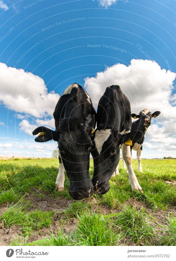 Nature Summer Landscape Clouds Environment Meadow Idyll Pasture Cow To feed Organic farming