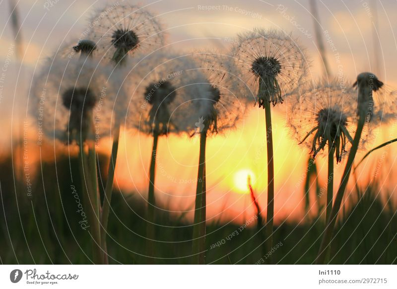 evening mood Plant Sky Sunrise Sunset Sunlight Spring Beautiful weather Warmth Flower Dandelion Garden Park Meadow Yellow Gray Red Black White Back-light Shadow
