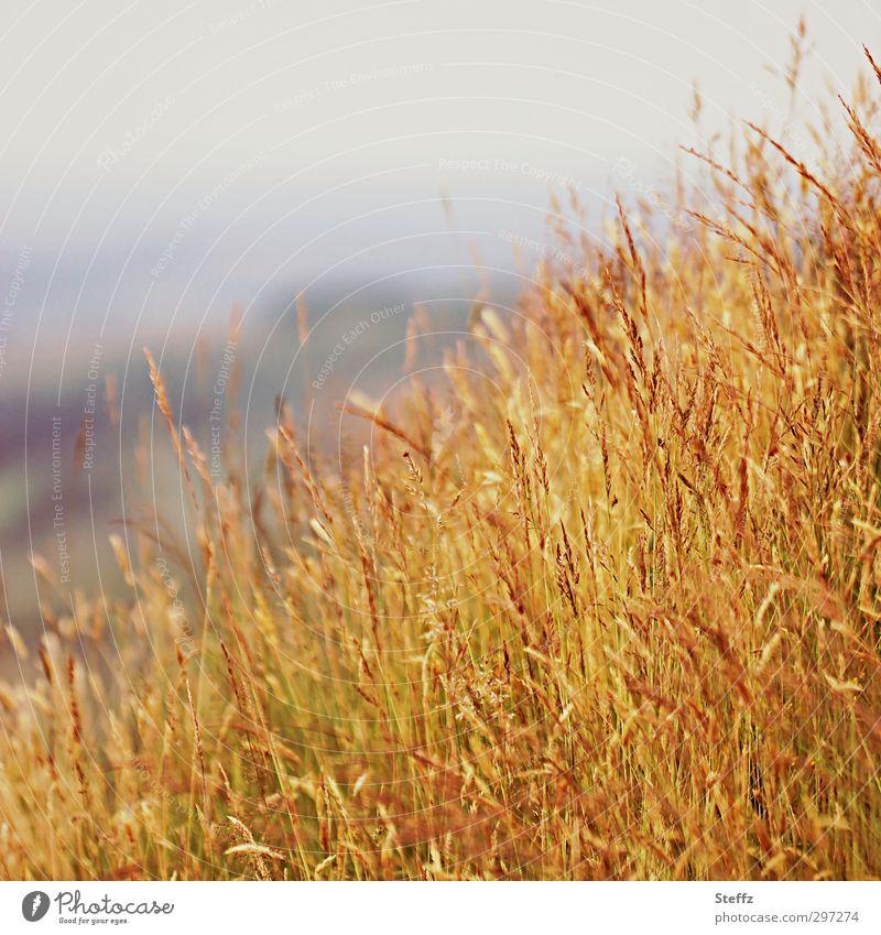 as yellow as grass Nature Landscape Plant Autumn Beautiful weather Grass Tuft of grass Grass tip Whispering grass Blade of grass Meadow Hill Grassland