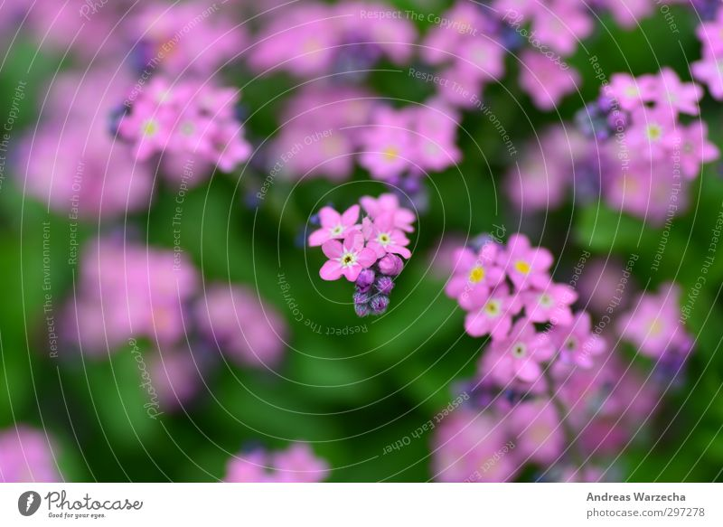 Small and purple Environment Nature Plant Spring Flower Leaf Blossom Park Authentic Free Near Beautiful Green Violet Pink Far-off places Colour photo