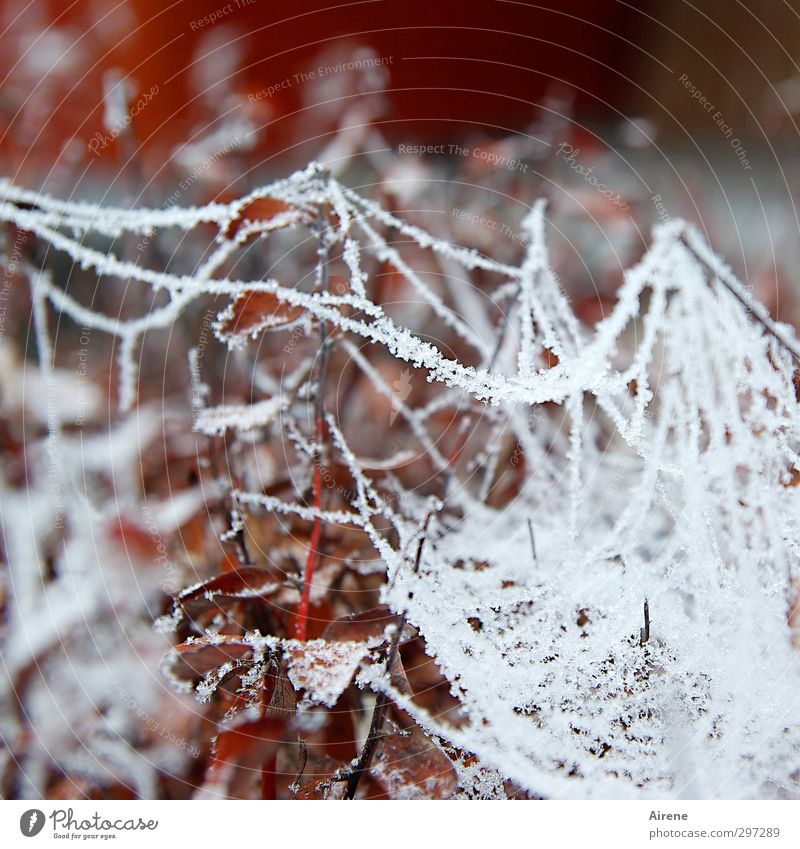 Nature White Plant Red Leaf Winter Environment Cold Autumn Garden Ice Bushes Esthetic Change Frost Network