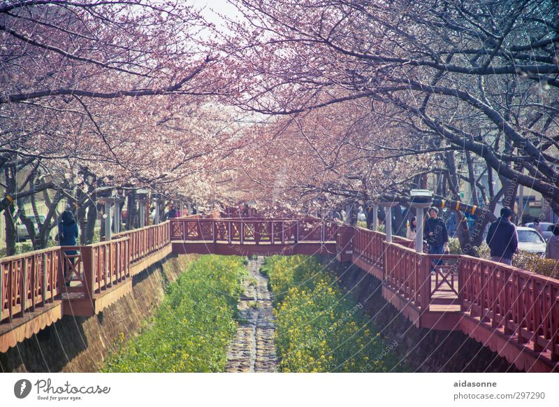 "cherry blossoms Human being Life Nature Spring Beautiful weather Tree Blossom ""Jinhae chinhae"" Korea Asia Town Downtown Populated Bridge Garden"