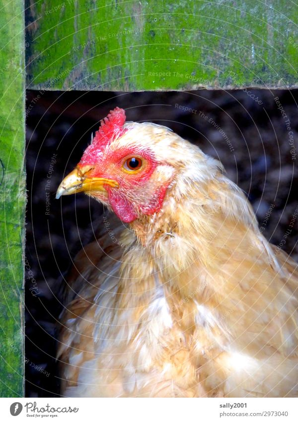 Good morning... Animal Animal face Barn fowl 1 Observe Looking Wait Exceptional Friendliness Wood Brash Watchfulness Curiosity Farm animal Colour photo