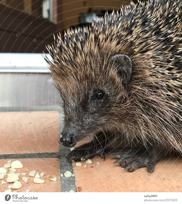 porcupine Animal Wild animal Animal face Hedgehog 1 To feed Friendliness Cute Thorny Love of animals Trust Peanut Snout Colour photo Exterior shot
