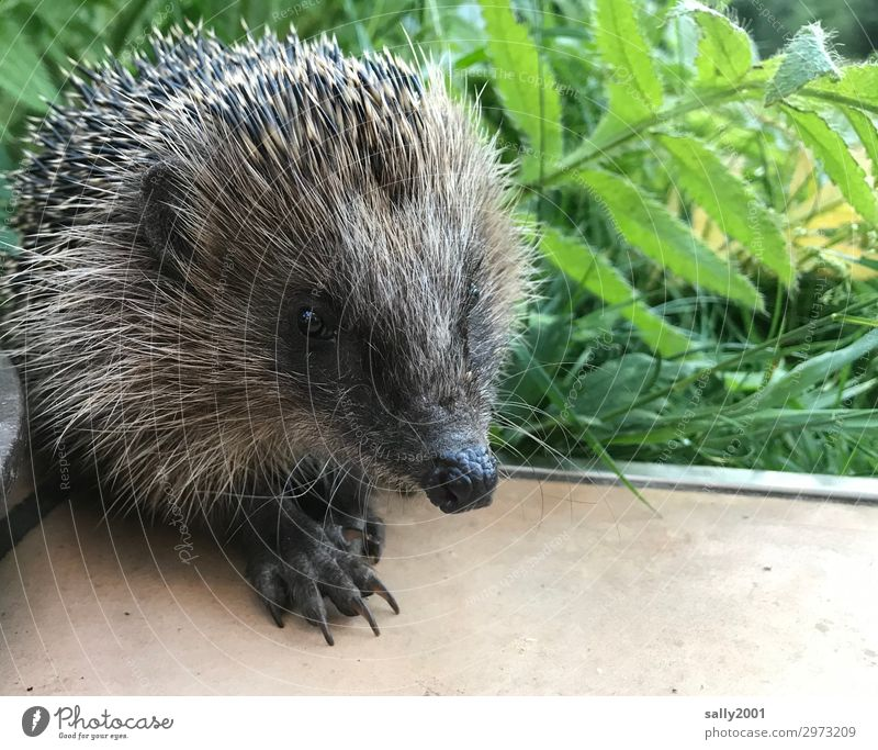 nosy prickly animal... Grass Animal Wild animal Hedgehog 1 Baby animal Observe Looking Wait Brash Friendliness Small Cute Thorny Curiosity Claw Snout Spine