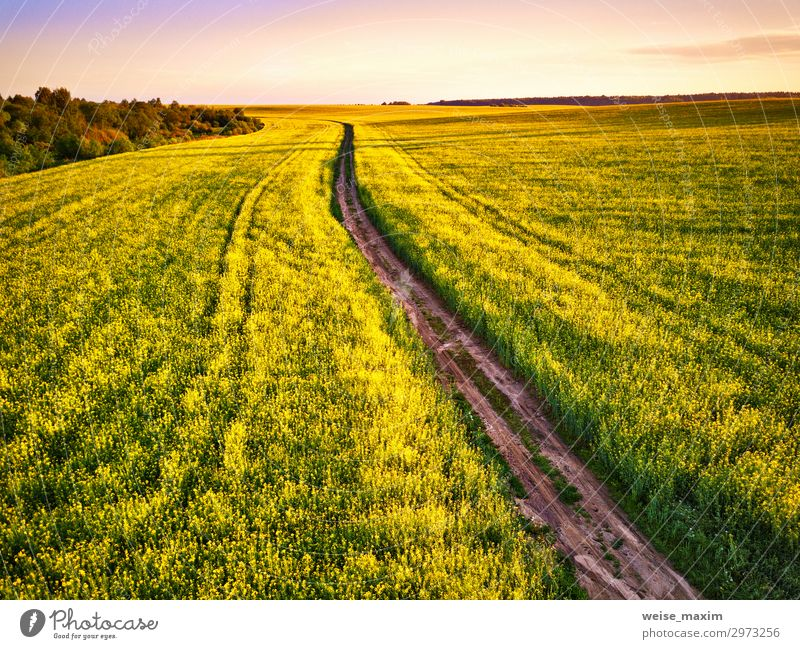 Dirt Road in canola Flowering Field, spring sunrise. Sky Nature Summer Plant Beautiful Green Landscape Clouds Yellow Environment Spring Lanes & trails Horizon