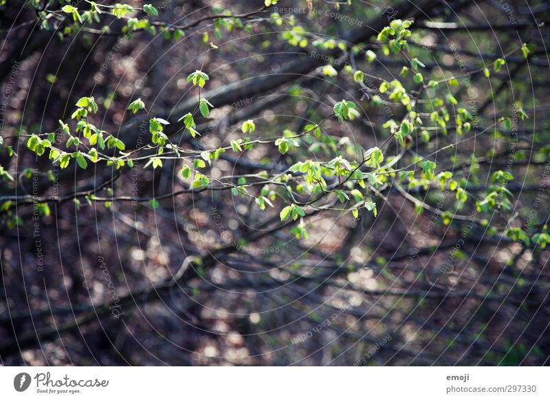 it greenens so greenly Environment Nature Plant Spring Tree Bushes Leaf Foliage plant Natural Green Beech tree Colour photo Exterior shot Close-up Deserted Day