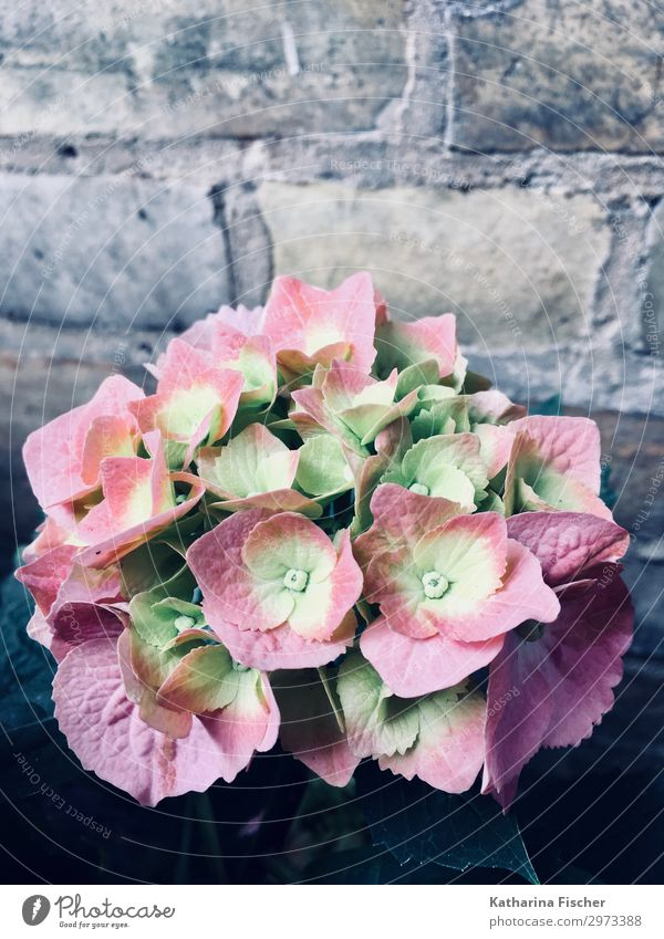 Hydrangeas pink one Nature Spring Summer Autumn Plant Flower Blossoming Beautiful Yellow Green Pink White Hydrangea blossom Colour photo Exterior shot Deserted