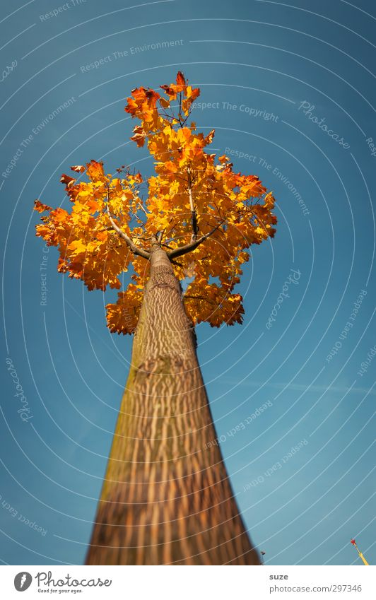 delusions of grandeur Environment Nature Plant Sky Cloudless sky Autumn Climate Weather Beautiful weather Tree Esthetic Large Tall Point Blue Autumnal