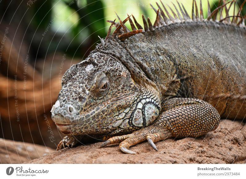 Close up portrait of green iguana resting on rocks Relaxation Nature Rock Animal Animal face Zoo 1 Stone Bright Green Iguana Side wildlife iguanidae Reptiles