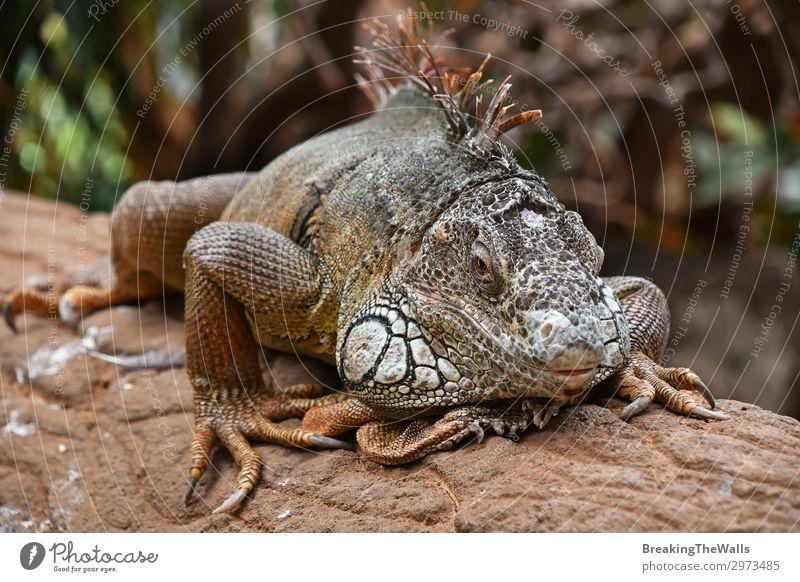 Close up portrait of green iguana resting on rocks Relaxation Nature Rock Animal Wild animal Animal face Zoo 1 Stone Bright Green Iguana Side wildlife iguanidae