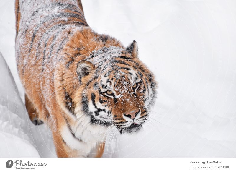 Close up portrait of Siberian tiger in winter snow Cat Nature White Animal Winter Eyes Snow Wild Head Fresh Weather Vantage point Observe Contact Mammal