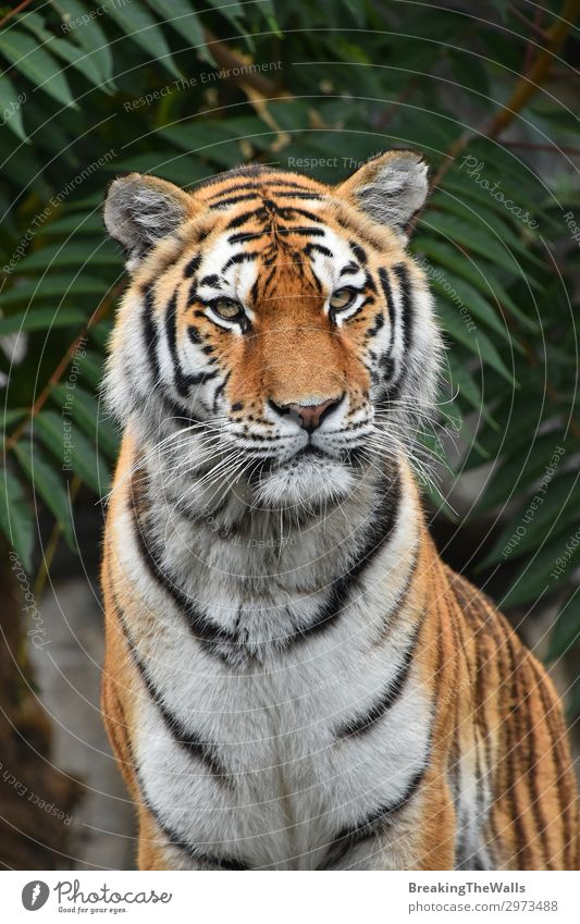 Close up portrait of Siberian Amur tiger Nature Tree Forest Animal Wild animal Cat Animal face Zoo 1 Green Tiger young panthera tigris altaica Snout wildlife
