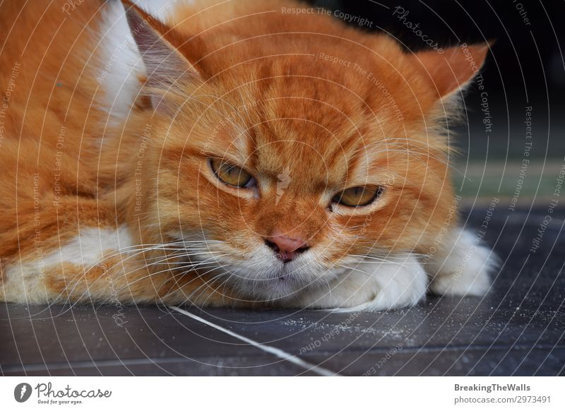 Close up portrait of red ginger domestic cat Cat Beautiful White Red Relaxation Animal Loneliness Eyes Sadness Emotions Brown Moody Head Vantage point Large