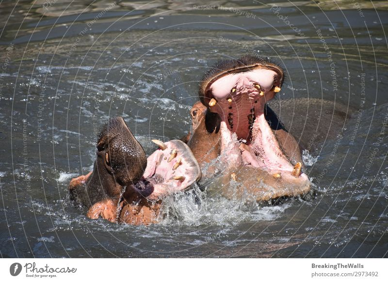 Couple of hippos swim and play in water Playing Nature River Animal Wild animal Animal face Zoo 2 Pair of animals Love of animals Aggression Relationship
