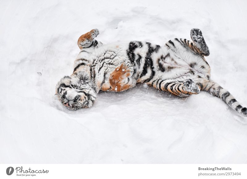 Siberian tiger playing in white winter snow Playing Nature Winter Weather Snow Animal Wild animal Zoo 1 Fresh Clean White Tiger Amur Mark Rest Playful Downward