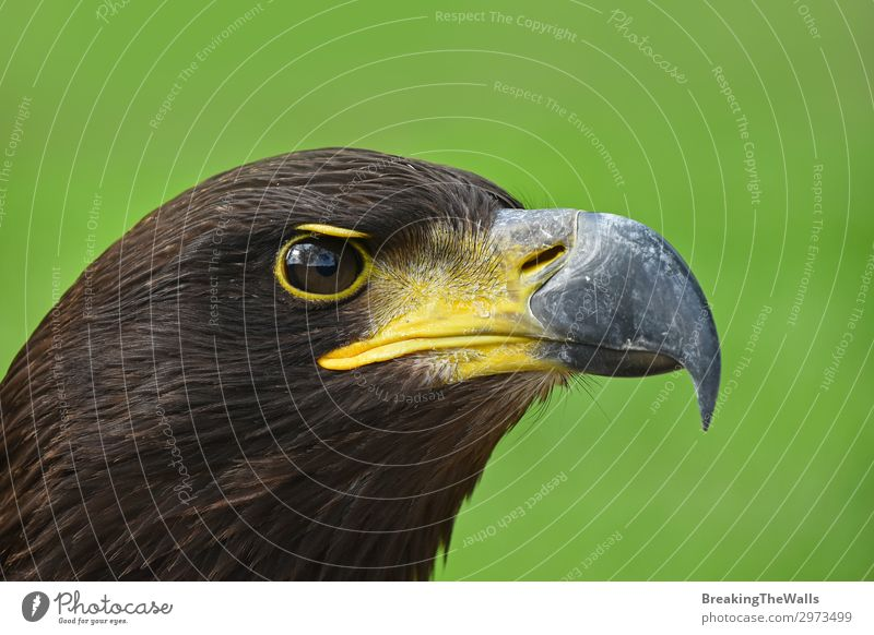 Close up profile portrait of Golden eagle on green Nature Grass Animal Bird Animal face Zoo 1 Observe Dark Wild Brown Green Watchfulness Eagle background Beak