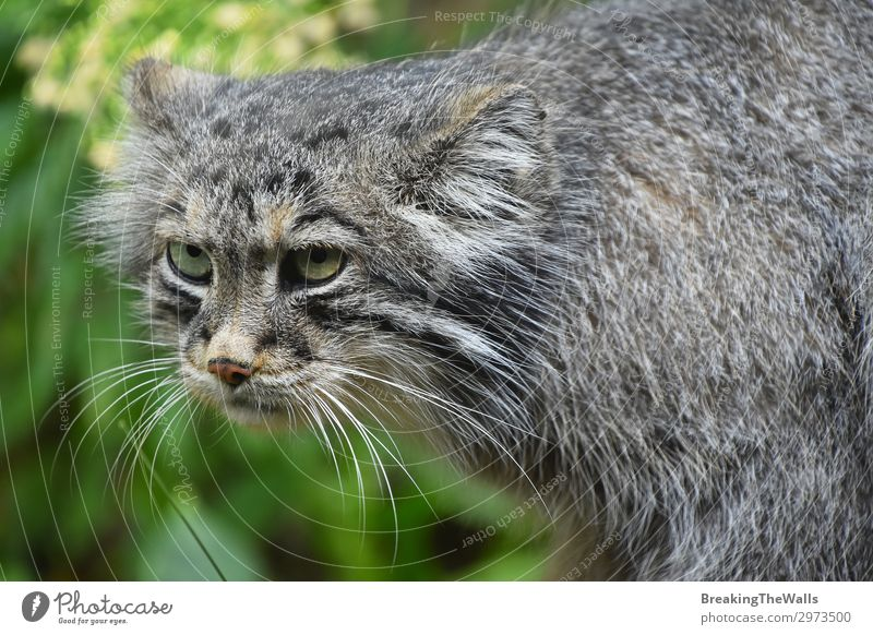 Close up portrait of manul Pallas cat Nature Forest Animal Cat Animal face Zoo 1 Baby animal Dark Hideous Cute Wild Gray Green Sadness Aggravation Aggression