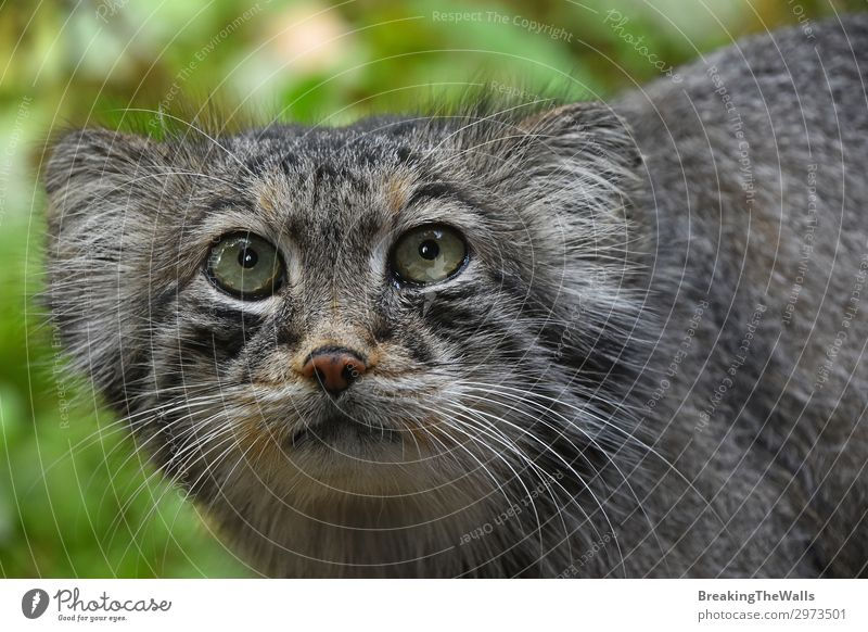 Close up portrait of manul Pallas cat Nature Forest Animal Cat Animal face Zoo 1 Cute Wild Gray Manul Snout danger Cautious otocolobus pallas Low angle