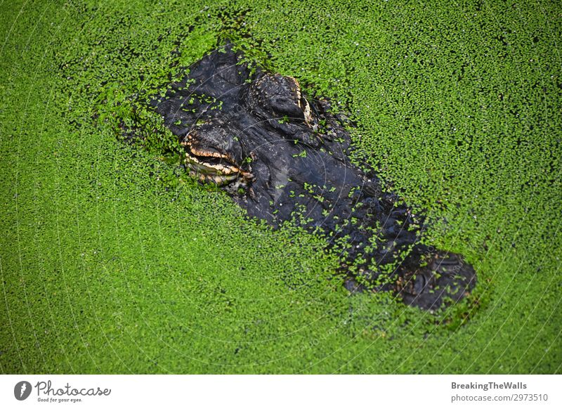 Close up portrait of crocodile in green duckweed Nature River Animal Wild animal Animal face Zoo 1 Hideous Green Dangerous Colour Alligator Top Vantage point