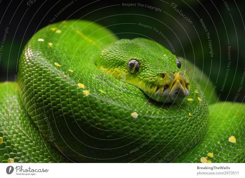 Green tree python (Morelia viridis) close up Animal Wild animal Snake Animal face Zoo 1 Colour Python Vantage point Tropical Reptiles Chondropython Carnivore