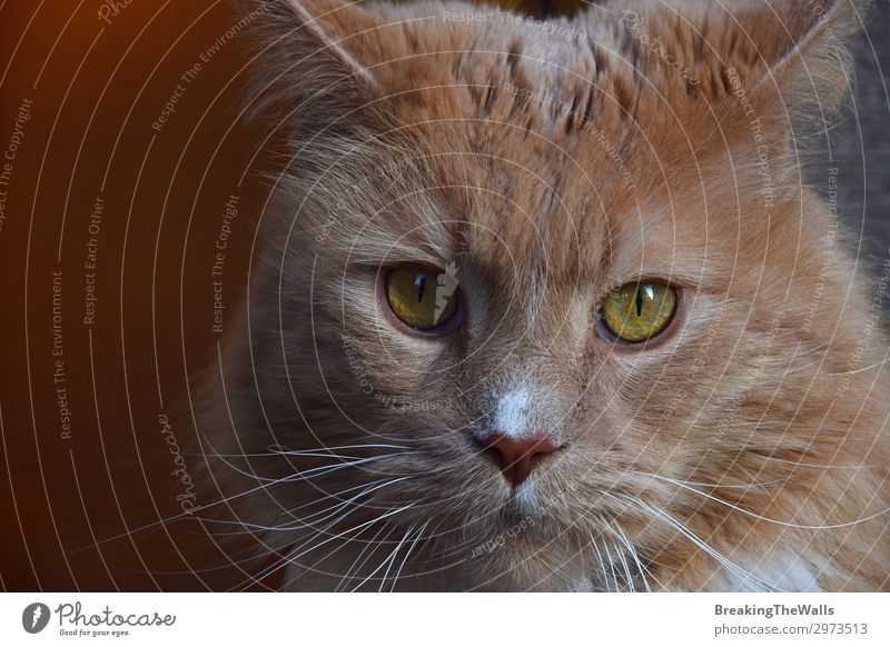 Close up portrait of ginger domestic cat Animal Pet Cat Animal face 1 Large Cute Brown Domestic background Low angle Vantage point Whisker big Snout Serene Head