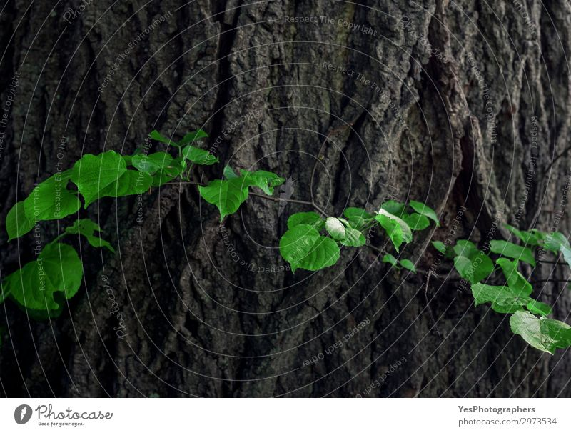 Linden tree bark and green leaves Life Summer Environment Nature Plant Leaf Forest Old Fresh Green background bark tree big branch Crack & Rip & Tear curved