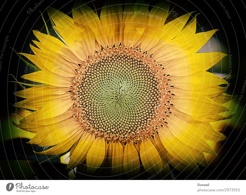 sunflower in the dark III Happy Summer Sun Nature Elements Clouds Flower Leaf Garden Field Village Cool (slang) Beautiful Yellow Green Orange Emotions Joy