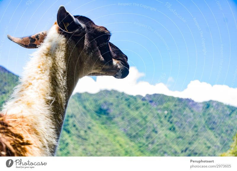 This little llama in the ruins of Machu Picchu Vacation & Travel Old Beautiful Animal Mountain Lanes & trails Tourism Hiking Historic Tradition Monument Exotic