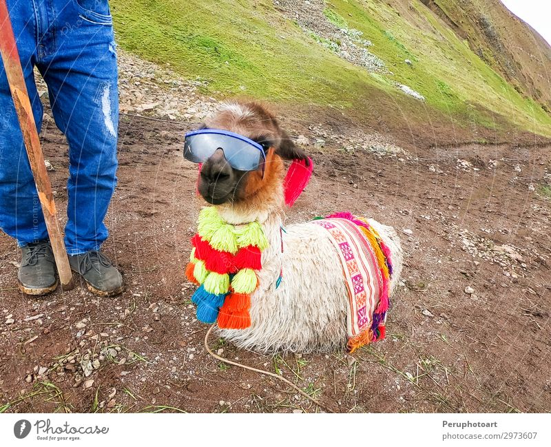 View of a funny alpaca with sunglasses around Rainbow Mountain Vacation & Travel Nature Summer Green Landscape Animal Funny Grass Tourism Wild Horizon Historic