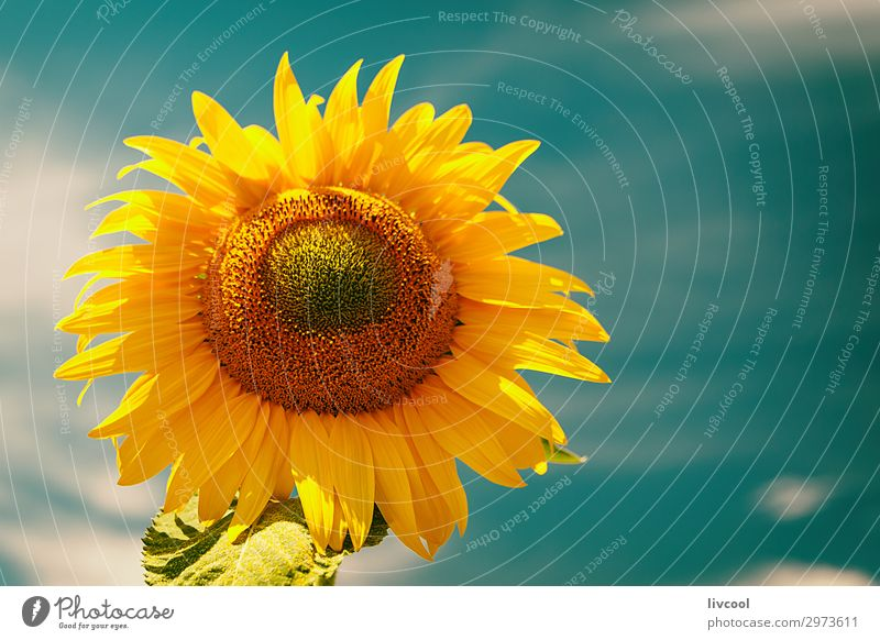 sunflower in summer , spain Happy Summer Sun Nature Plant Clouds Flower Leaf Hill Village Authentic Cool (slang) Happiness Blue Yellow Orange Emotions