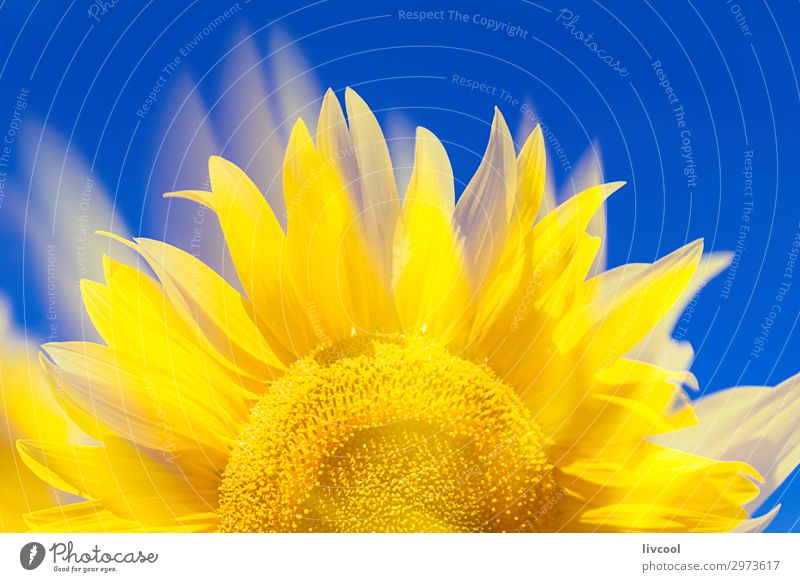 awesome sunflower III Happy Summer Sun Nature Plant Air Clouds Flower Leaf Field Village Authentic Cool (slang) Yellow Emotions Happiness Optimism Contentment
