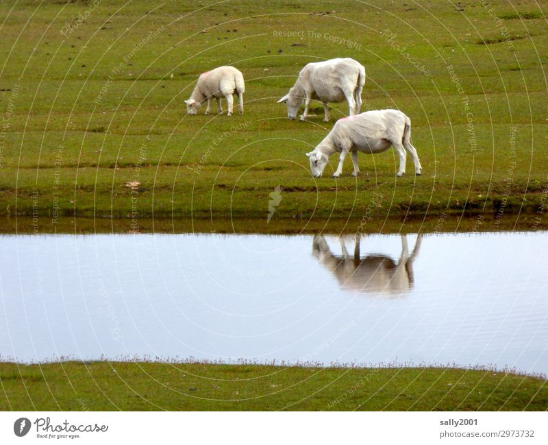 freshly shorn... Sheep White sheep Willow tree Meadow Grass River Reflection reflection To feed grasses Farm animal Animal Herd Group of animals Flock