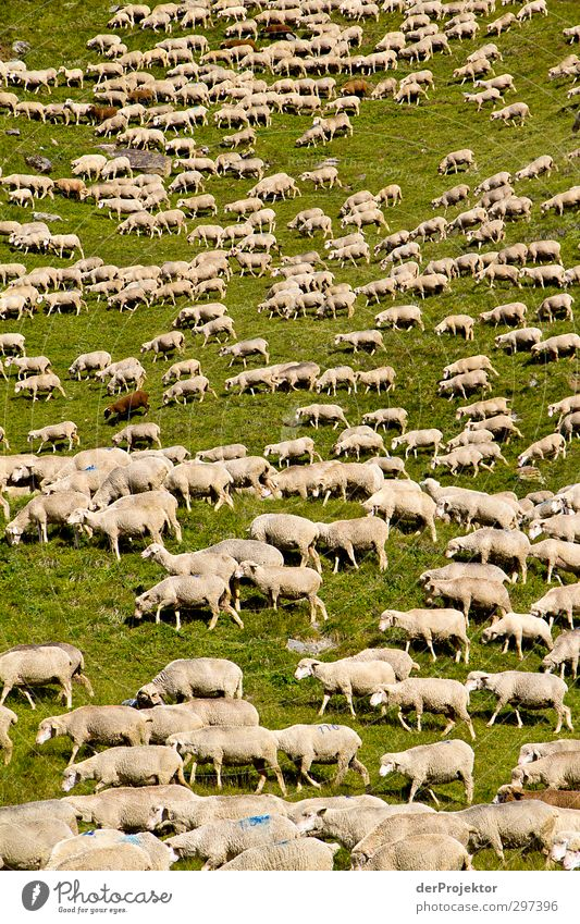 The noise of the lambs Environment Nature Landscape Animal Hill Alps Mountain Farm animal Pelt Sheep Flock Lamb's wool Sheepskin Group of animals Herd Authentic