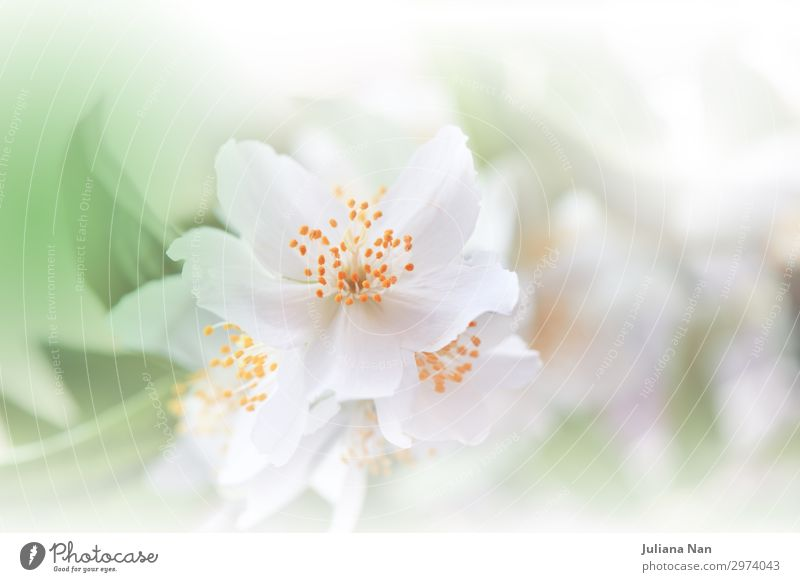 Green Nature Macro Photography.Floral Art Design.Jasmine. Lifestyle Luxury Elegant Style Perfume Work of art Environment Plant Flower Blossoming Fragrance