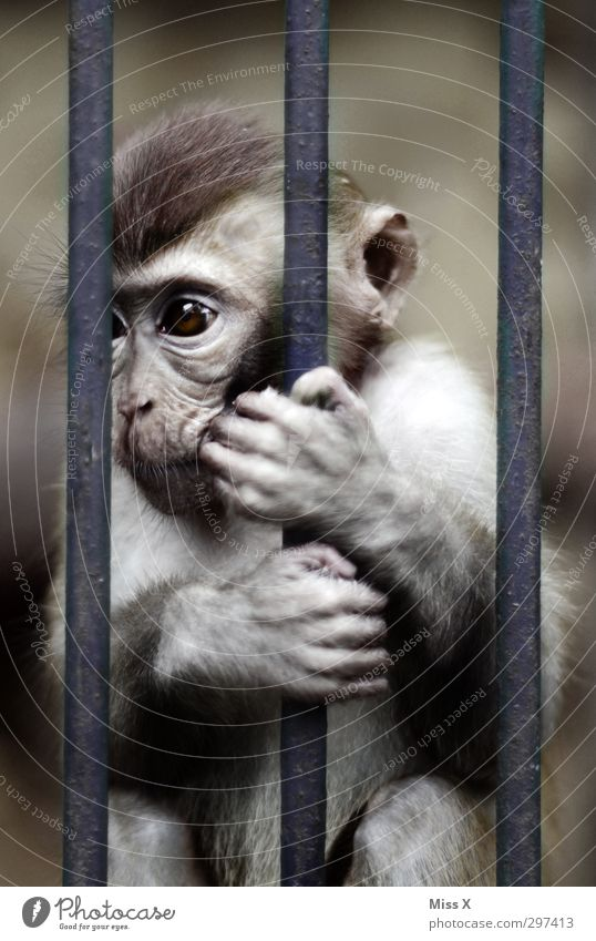 captivity Pelt 1 Animal Baby animal Dark Emotions Moody Sadness Concern Grief Loneliness Frustration Prison cell Captured Grating Cage Monkeys To hold on
