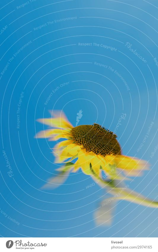 unfocused sunflower looking at the sun Happy Summer Sun Nature Plant Elements Sky Flower Leaf Field Village Authentic Cool (slang) Beautiful Blue Yellow