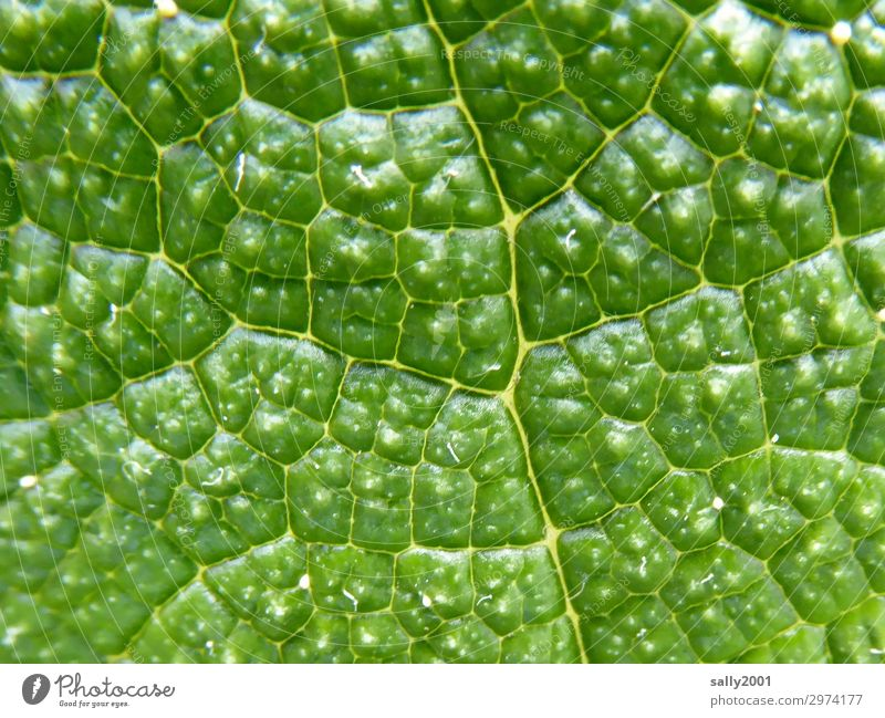 cellular Plant Leaf Uniqueness Natural Green Nature Survive Photosynthesis cell division cell structure Rachis Growth Structures and shapes Colour photo Detail