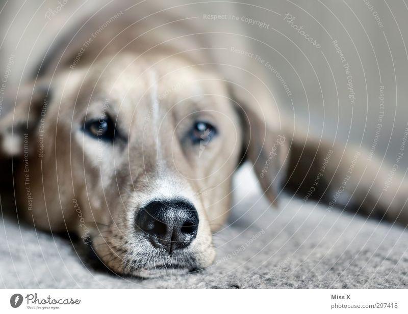snout Pet Dog 1 Animal Lie Emotions Serene Patient Calm Fatigue Dog's snout Puppydog eyes Colour photo Subdued colour Close-up Deserted Shallow depth of field