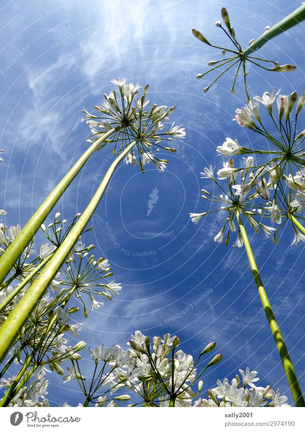 Airy, airy, airy. Plant Sky Summer Beautiful weather Flower decorative lily agapanthus Blossoming Esthetic Fragrance White Nature Fragrant Easy Ease Tall
