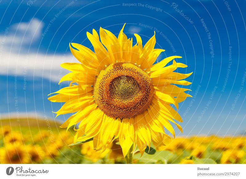 sunflower in summer Happy Summer Sun Nature Landscape Plant Elements Air Clouds Climate Flower Leaf Meadow Field Village Authentic Free Beautiful Blue Yellow