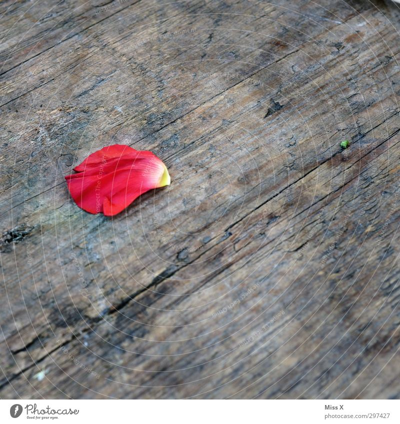 rose petal Flower Rose Blossom Wood Faded To dry up Pink Red Rose leaves Blossom leave Colour photo Multicoloured Close-up Deserted Copy Space right